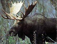 Moose Driver