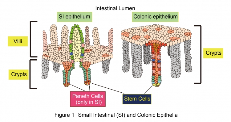 Human Colonic Epithelial Cells